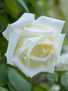 Rosier Grimpant Paul's Lemon Pillar - Rose ancienne