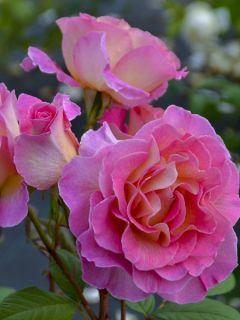 Rosier à grandes fleurs Pink Paradise en racines nues