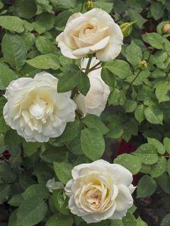 Rosa Princesse Astrid de Belgique - Rosier buisson à grandes fleurs
