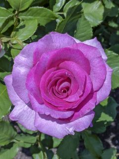 Rosier à grandes fleurs Violette Parfumée en racines nues
