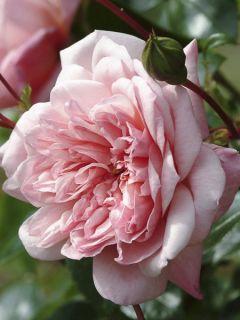Rosier Liane Paul Noel - Rose ancienne