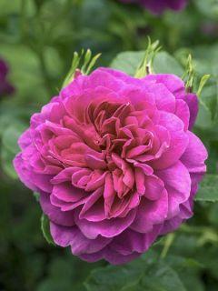 Rosier anglais Princess Anne® - Auskitchen