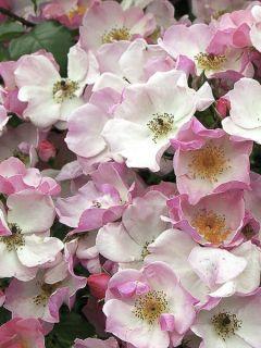 Rosier à grandes fleurs Rosy Cushion