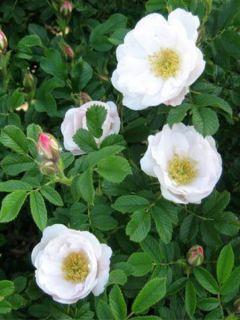 Rosa rugosa Alba - Rosier rugueux - Rosier botanique