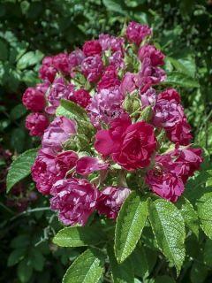 Rosier F.J Grootendorst - Rosa (x) rugosa