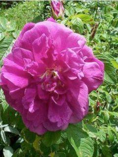 Rosier Hansa - Rosa (x) rugosa