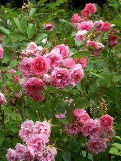 Rosier Pink Grootendorst - Rosa (x) rugosa