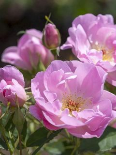 Rosier 'The Lady's Blush'
