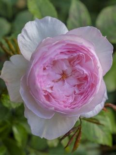 Rosier 'The Mill on the Floss'