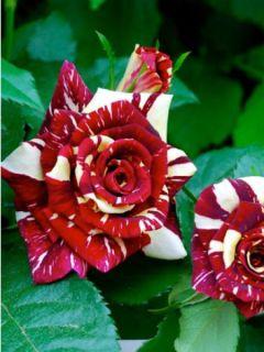 Rosier Abracadabra - Rosa (x) floribunda