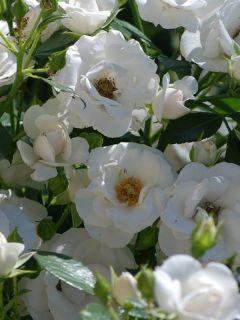 Rosier couvre-sol Aspirin Rose en racines nues