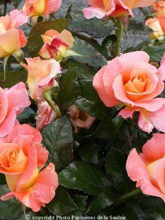 Rosier à grandes fleurs Eriko Takeda en racines nues