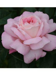 Rosier à grandes fleurs Honore de Balzac ®