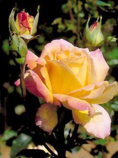 Peace Gloria Dei - Rosier à grandes fleurs crème rosé en pot