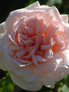 Rosier à Grandes fleurs Prince Jardinier®  Meitroni