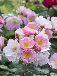 Rosier à fleurs groupées Utopia en racines nues.