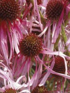 Echinacea pallida - Echinacée