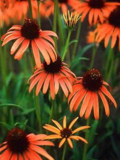 Echinacea Art s Pride - Rudbeckia pourpre