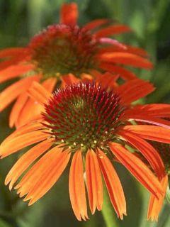 Echinacea Orange Skipper - Rudbeckia hybride
