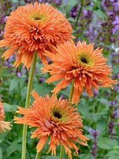 Echinacea Colourburst Orange - Rudbeckia pourpre