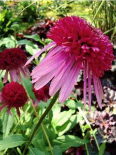 Echinacea Cranberry Cupcake - Rudbeckia pourpre