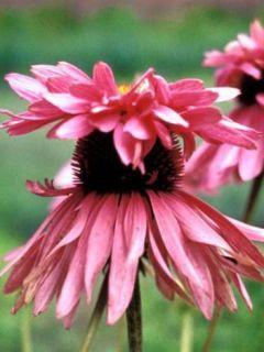 Echinacea purpurea Double Decker - Echinacée pourpre Double Decker