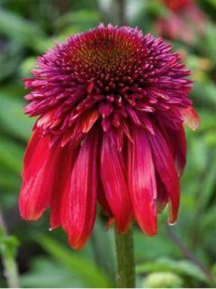 Echinacea Eccentric - Rudbeckia pourpre