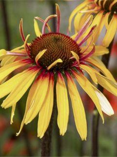 Echinacea purpurea Funky Yellow - Rudbeckia pourpre