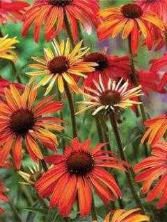 Echinacea Hot Summer - Rudbeckia pourpre