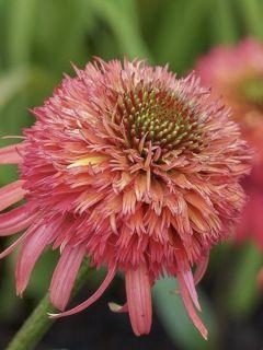 Rudbeckia ou Echinacea purpurea Irresistible