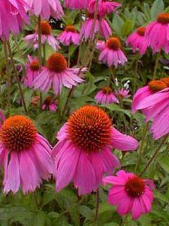 Rudbeckia ou Echinacea purpurea Kim's Knee High