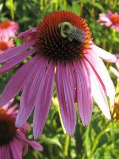 Echinacea purpurea Magnus - Rudbeckia pourpre