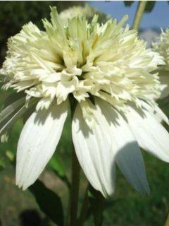 Rudbeckia ou Echinacea purpurea Meringue