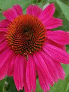 Echinacea Red Knee High - Rudbeckia pourpre