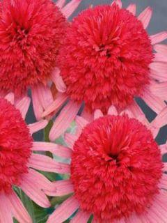 Echinacea Secret Passion - Rudbeckia pourpre