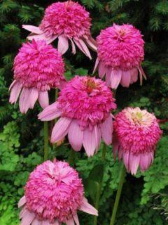 Echinacea Secret Romance - Rudbeckia pourpre