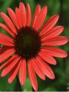 Echinacea purpurea Solar Flare - Rudbeckia pourpre