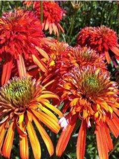 Echinacea ou Rudbeckia purpurea Summer Salsa