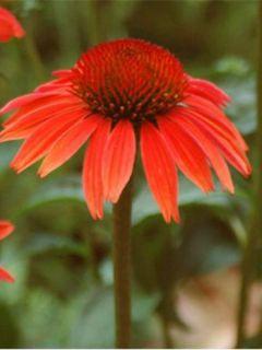 Rudbeckia ou Echinacea purpurea Sundown