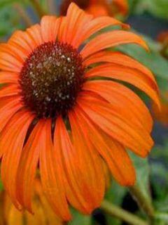 Echinacea Tangerine Dream - Rudbeckia pourpre