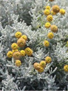 Santolina chamaecyparissus - Santoline argentée