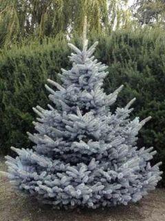 Sapin bleu, Epicéa du Colorado 'Blue Diamond'