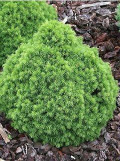 Picea glauca Alberta Globe - Epinette blanche