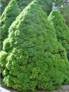 Epinette blanche - Picea glauca Conica