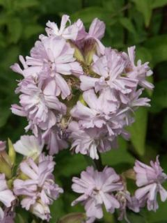 Saponaire, Saponaria officinalis Rosea Plena