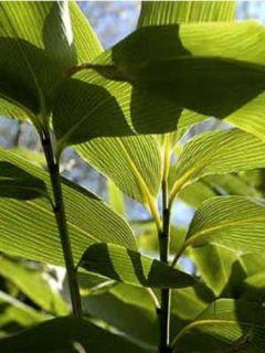 Sasa palmata Nebulosa - Petit bambou