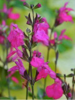 Sauge arbustive Cero Potosi - Salvia microphylla