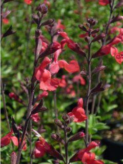 Sauge arbustive - Salvia microphylla Reve Rouge