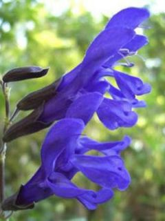 Sauge arbustive - Salvia guaranitica Black and Blue1