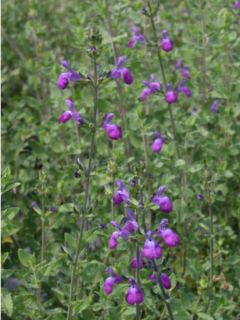 Sauge arbustive - Salvia Blue Note®